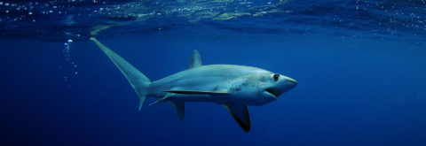 Let's Dive with Thresher Sharks