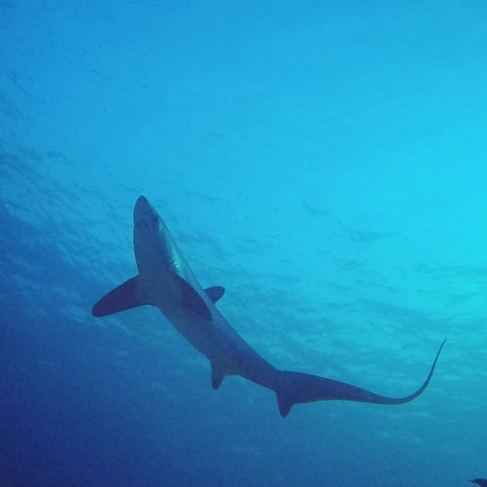 Thresher-shark-ocean-passion-malapascua
